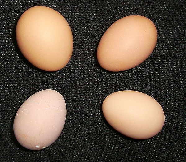 Buff Orpington Egg