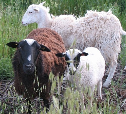 Sheep Weed Abatement